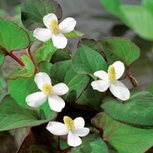 Houttuynia cordata (Moerings Waterplanten)