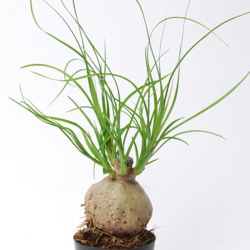 Beaucarnea recurvata (Van der Arend Tropical Plantcenter)