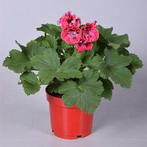Pelargonium ELEGANCE RED VELVET (Adrichem Potplanten)