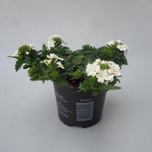 Verbena MAGELANA WHITE