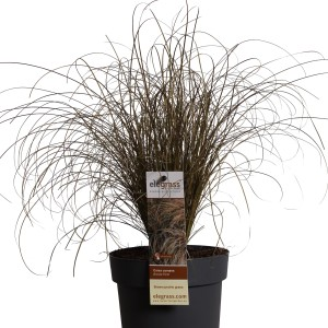 Carex comans 'Bronze Form' (Hoogeveen Plants)