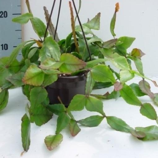 Rhipsalis elliptica (van der Hoorn Succulenten)