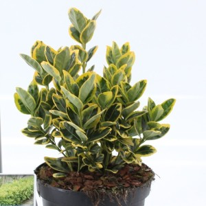 Euonymus japonicus 'Aureomarginatus' (About Plants Zundert BV)