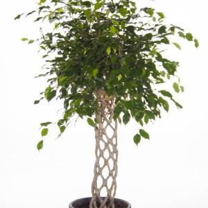 Ficus benjamina 'Exotica'