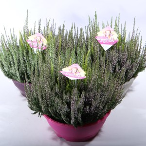 Calluna vulgaris BEAUTY LADIES MIX IN POT