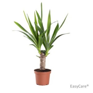 Yucca elephantipes (Gasa DK)