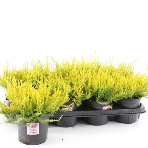 Calluna vulgaris GARDEN GIRLS SANDY (About Plants Zundert BV)