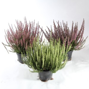 Calluna vulgaris GARDEN GIRLS MIX