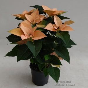 Euphorbia pulcherrima AUTUMN LEAVES