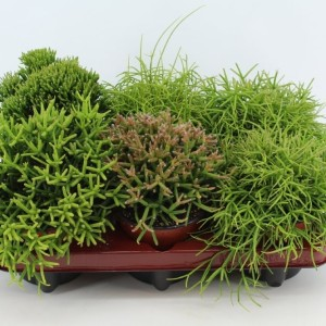 Rhipsalis MIX (Joy Plant)