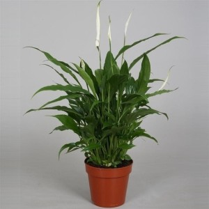 Spathiphyllum 'Yess'