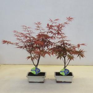 Acer palmatum 'Atropurpureum' (Lodder Bonsai BV)