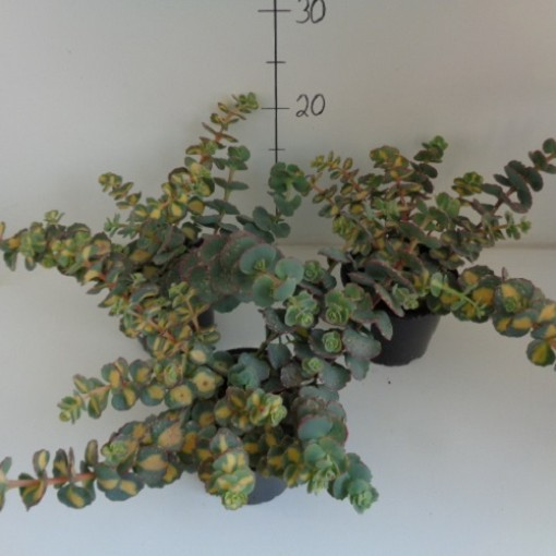 Sedum sieboldii MIX (Experts in Green)