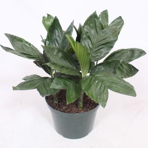 Chamaedorea metallica (Fachjan)