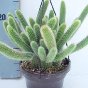 Hildewintera aureispina (van der Hoorn Succulenten)