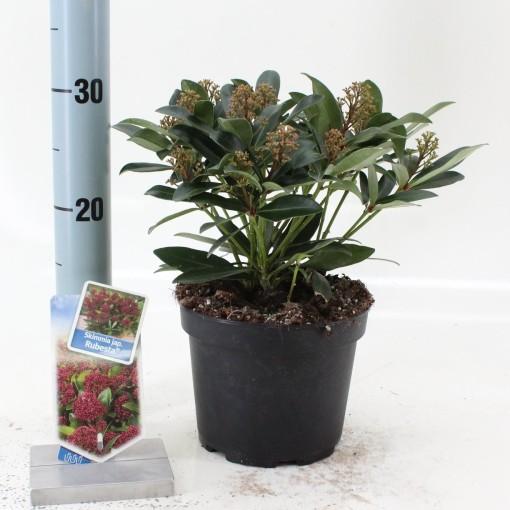 Skimmia japonica RUBESTA (About Plants Zundert BV)