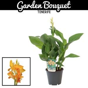 Canna 'Tenerife' (Vreugdenhil Bulbs & Plants)
