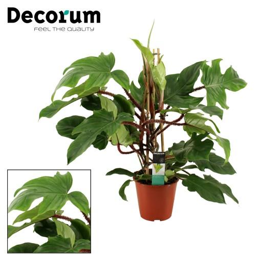 Philodendron squamiferum (Kwekerij Montis Moerkapelle B.V.)