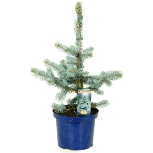 Picea pungens 'Hoopsii' (Vredebest, Kwekerij)