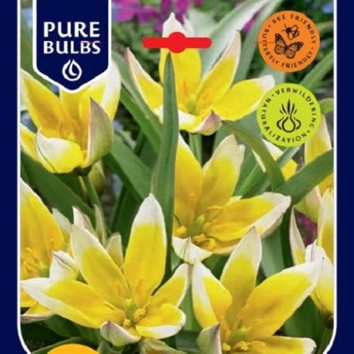 Tulipa tarda (Bosrand, Kwekerij de)