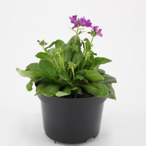 Arabis blepharophylla 'Frühlingszauber' (Kwekerij Baas)