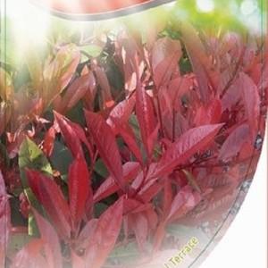 Photinia x fraseri 'Faros Red' (Dool Botanic)