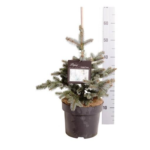 Picea pungens 'Koster' (Boomkamp Boomkwekerijen B.V.)