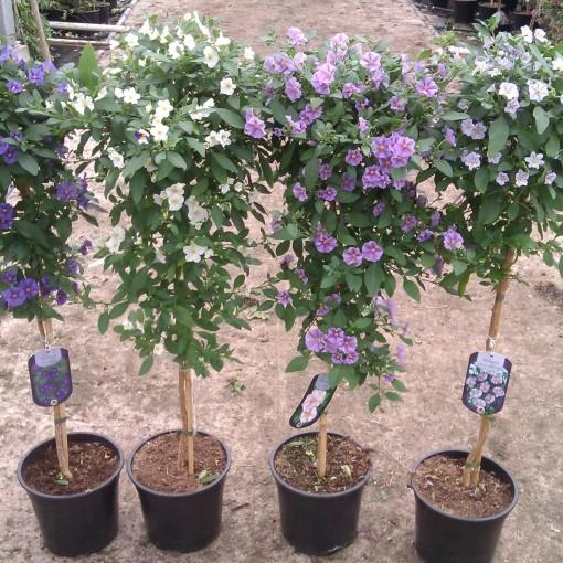 Solanum rantonnetii MIX (Gebr. Seuren Rozenkwekerijen BV)
