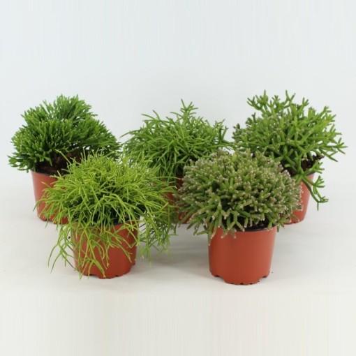 Rhipsalis MIX (Joy Plant)