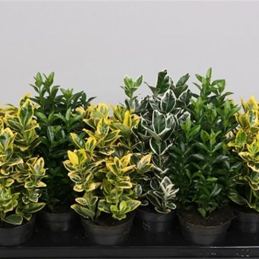 Euonymus japonicus MIX (Handelskwekerij van der Velden)