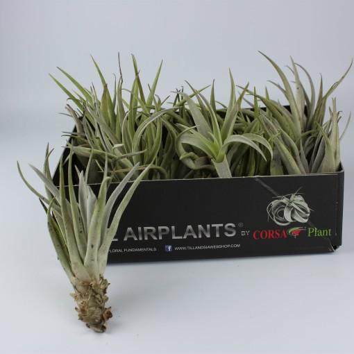 Tillandsia harrisii (Corsa plant)